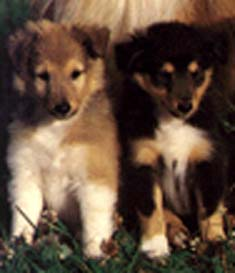 pair of collie pups